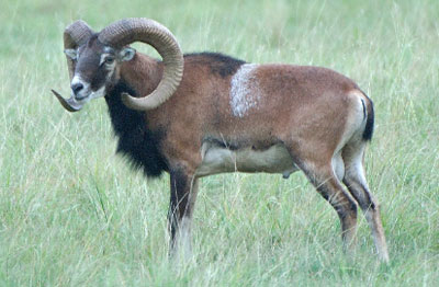 animals_europeanmouflon